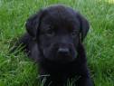 Pui labrador retriever pe negru!!