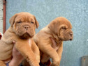 Pui dog de bordeaux!!