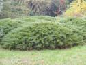Ienupar tarator verde (Juniperus sabina Tamariscifolia )