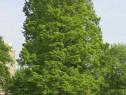 Chiparos de balta (Taxodium distichum) 30/50 cm
