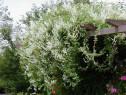 Falopia ( Polygonum aubertii)