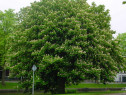 Castan porcesc (Aesculus hippocastanum)