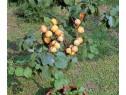Pomi pitici gradini mici