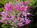 300 Seminte Cleome spinosa – Floarea paianjen