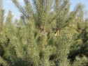 Pin Silvestru, Pinus sylvestris, Arbori si Plante Decorative