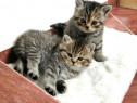 Pisici Puiuți British Brown