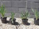 Yucca exterior - plante de gradina vesnic verzi