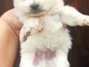Pomeranian Toy de Buzunar superbi