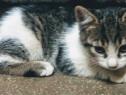British Shorthair mixbreed adoptie