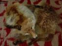 Guler de vulpe natural argasit