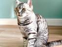 Pisica british shorthair silver tabby 2 ani