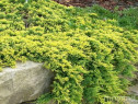 Juniperus Golden Carpet