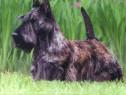Caini Scottish Terrier Bucuresti,Iasi ,Oradea,Brasov,Galati