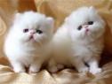 Pisicute persane