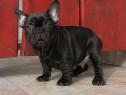 Bulldog francez exemplar superb!!