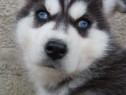 Husky minunati pentru pretentiosi