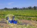 Personal in agricultura la cules de fasole in Franta