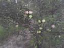 Pomi fructiferi mari