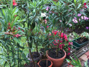 Flori ornamentale interior casa, amenajare birou, leandru