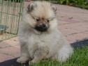 Pui Pomeranian