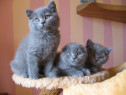 Pui de british shorthair!!