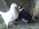 Porumbei voiajori americani
