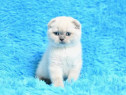 Scottish Fold blue point super preț rasă pură