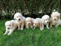 Pui de golden retriever/golden retriver!!