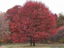 Stejar Roșu – Quercus rubra, Livram in Tara