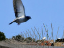 Țepi anti porumbei montam tepi contra porumbeilor alpiniști
