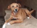 ZINA, metis Labrador, adoptie gratuita