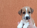 Pui jack russell russel