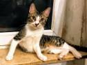 SINBAD, metis British Shorthair mixbreed adoptie