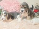 Pui beagle blue gri albastru raritate