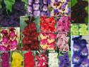 Gladiole culori deosebite - bulbi 12-14cm
