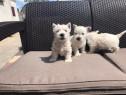 Pui westie alb west highland terrier