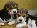 Catelusi Beagle Bucuresti