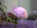 Pesti exotici - Angel Fish