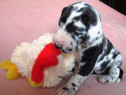 Dog German, talie mare, rasa pura, 2 luni