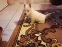 Westie terrier femele si masculi!!
