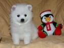 Pomeranian alb, foarte pufosi, talie toy autentica