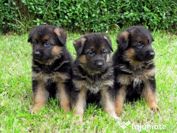 Ciobanesc german pentru paza pui la 2 luni 900 ron for Tiny puppies that stay tiny for sale