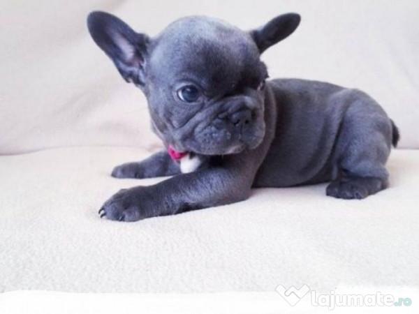 Pui De Buldogbulldog Francez Albastru Gri Blue 700 Eur