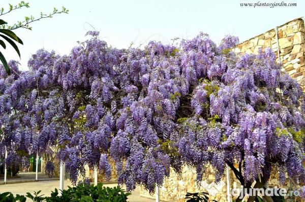 Wisteria sinensis glicina 39 ron for Glicina planta
