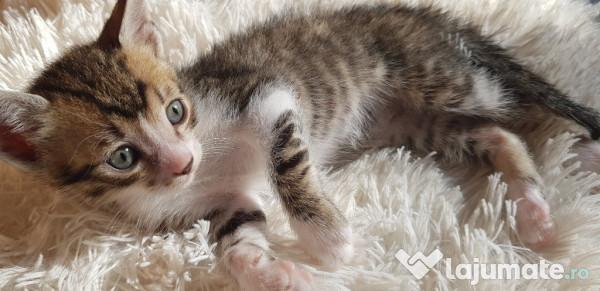 Adoptie pisici, gratuit - Lajumate ro