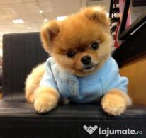 Pomeranian Boo